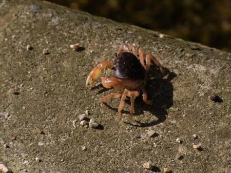 crab in october