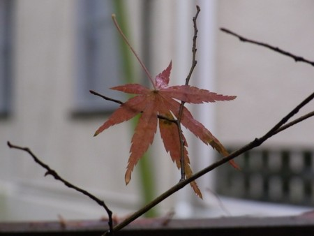 fallen_leaf_red.jpg