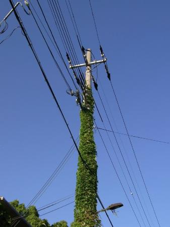 ivy_leaf_on_utility_pole.jpg