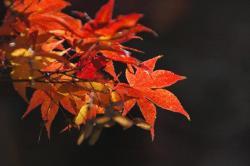 金剛寺の紅葉