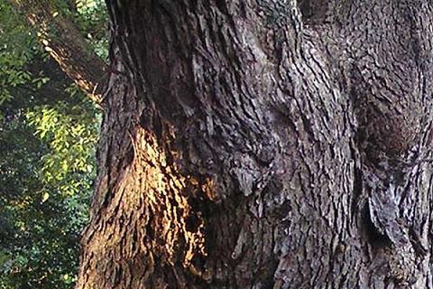クスノキの幹