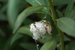 アスクレピアスの種