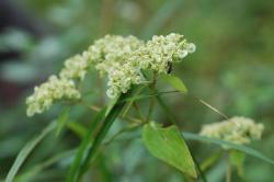 オトコエシの花