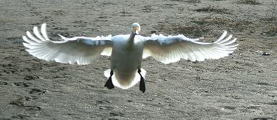 IMG_3317オオハクチョウの飛翔
