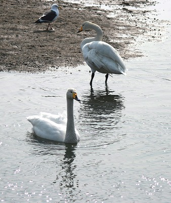 IMG_55093羽の白鳥