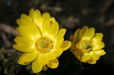 IMG_5878福寿草の開花
