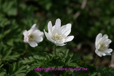IMG_6790キクザキイチゲ2