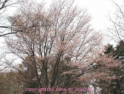IMG_7653sakura.jpg