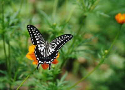 キバナコスモスをアゲハチョウ