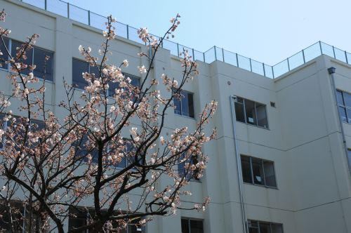 98 校舎と桜