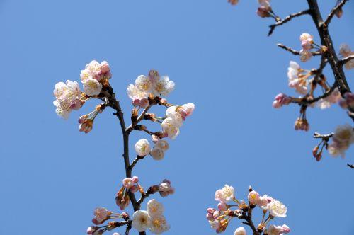 96 桜3