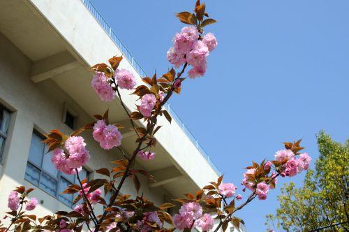 19 あ 校庭牡丹桜