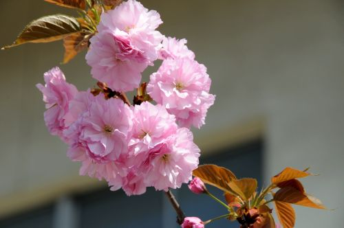 21 校庭牡丹桜