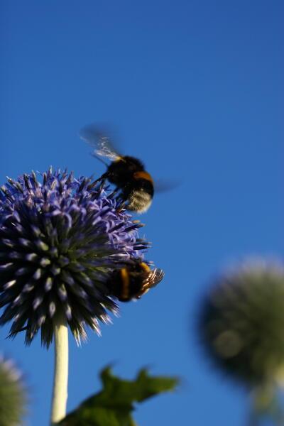 瑠璃玉アザミと西洋丸花蜂