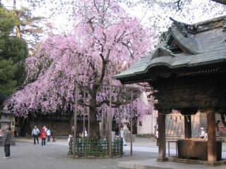 大国魂神社の桜-20070328-02