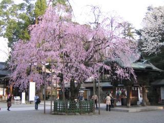 大国魂神社の桜-20070328-03