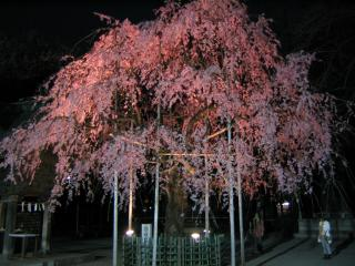 大国魂神社の桜-20070328-04