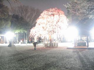 大国魂神社の桜-20070328-05