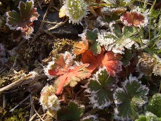 アメリカフウロの霜9136