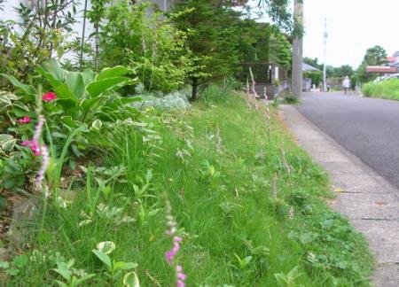 道路沿いのネジバナ