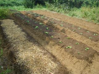 冬野菜の定植