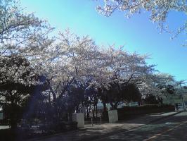 桜2008-1