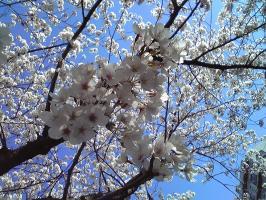 桜2008-2