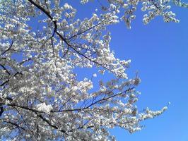 桜2008-3