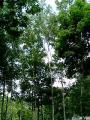 富良野チーズ工場の樹木