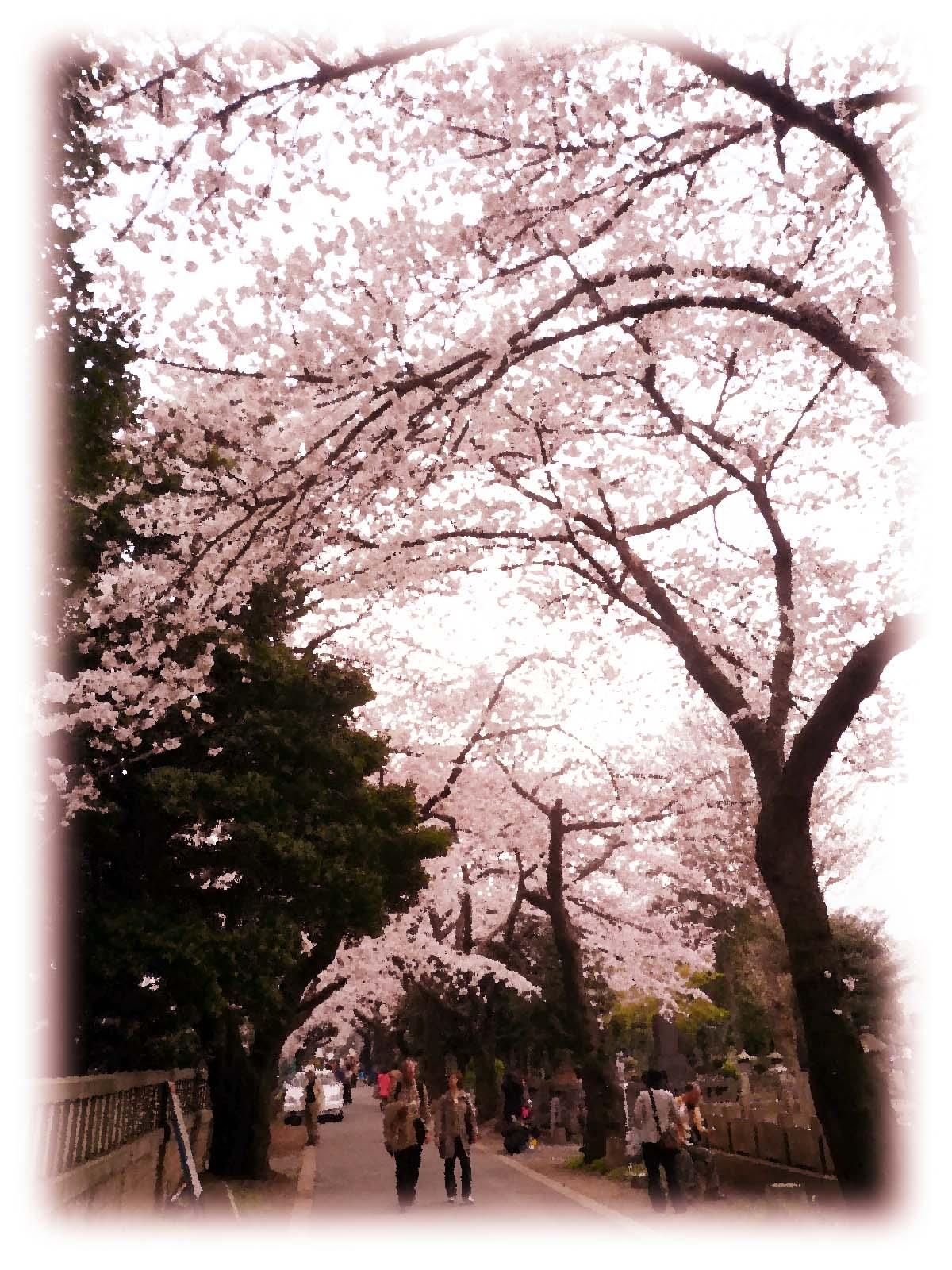 桜並木 イメージ