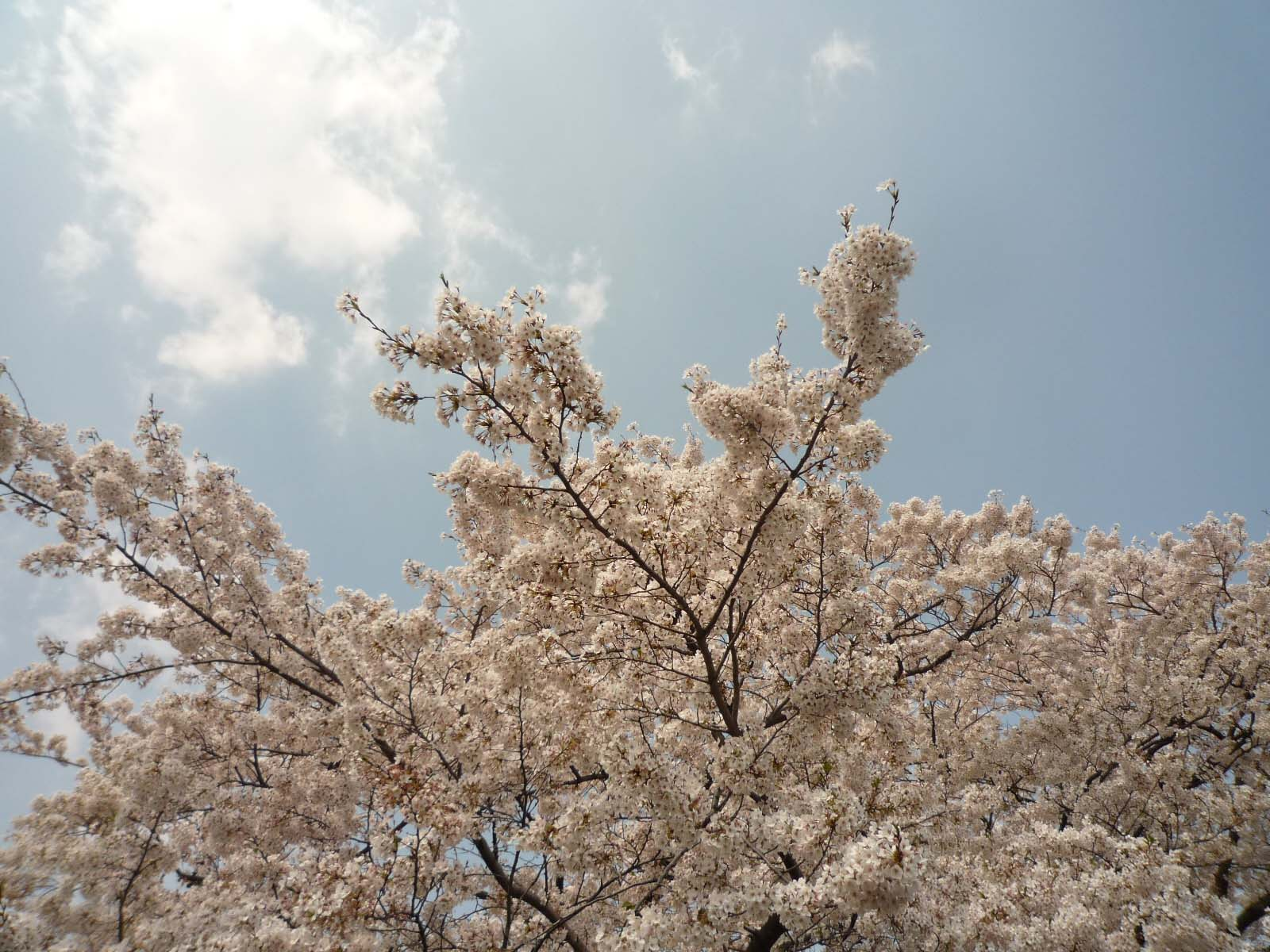 桜01 不忍池  しのばずのいけ 上野恩賜公園 東京都台東区
