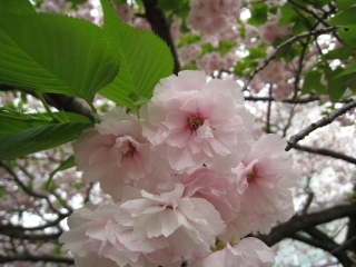 研究所の八重桜