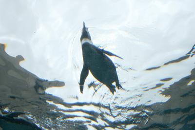 27旭山ペンギン