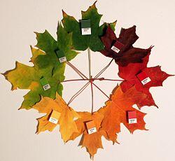 秋には色づくサトウカエデの葉