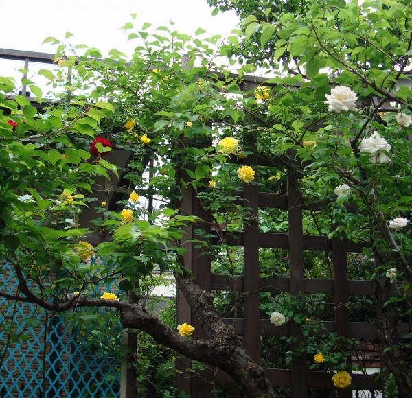 梅の木とバラ