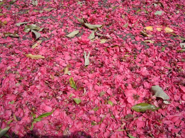 菊桃の花びら