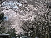 2005_sakura_05_thumb.jpg
