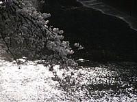 2005_sakura_06_thumb.jpg