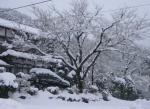 080218-yuki-sakura.jpg