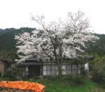 sanpo-070409-sakura.jpg
