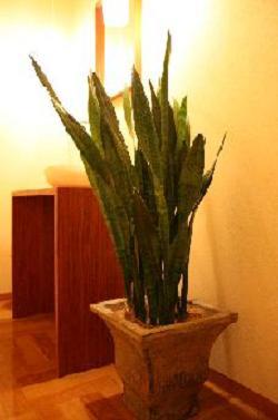 トイレの植木