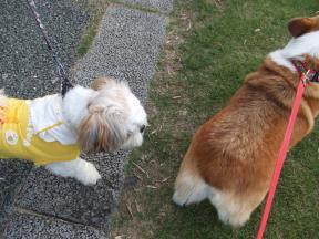 シーズー犬1