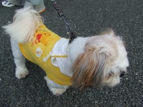 シーズー犬2
