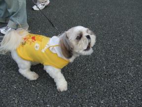 シーズー犬3