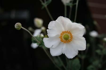 秋明菊 (白 一重)