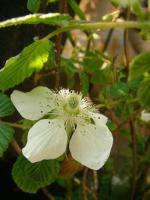 ベリーの花