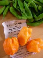 胡椒(青唐辛)とハバネロ