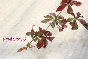 枝ドウダン