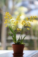 オンシジウム「ケイロフォルム」の花