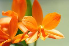 ミニカトレア「Koshio」の花